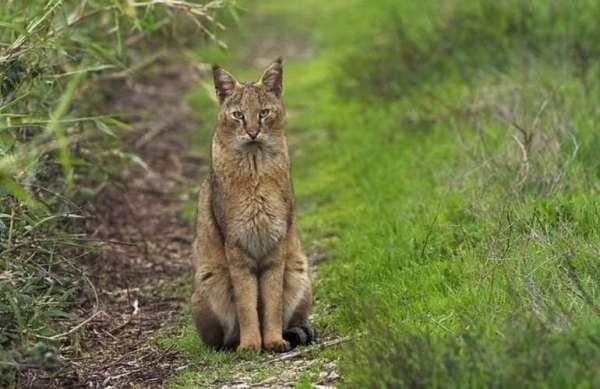 Камышовый кот Фото, видео, домашний, дикий, описание ...