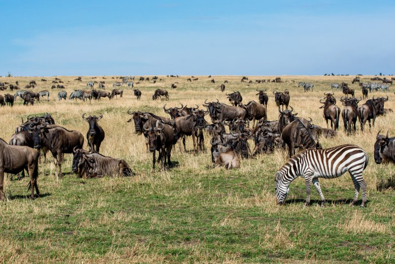 Стадо антилопи и зебри - Масай Мара, Кения