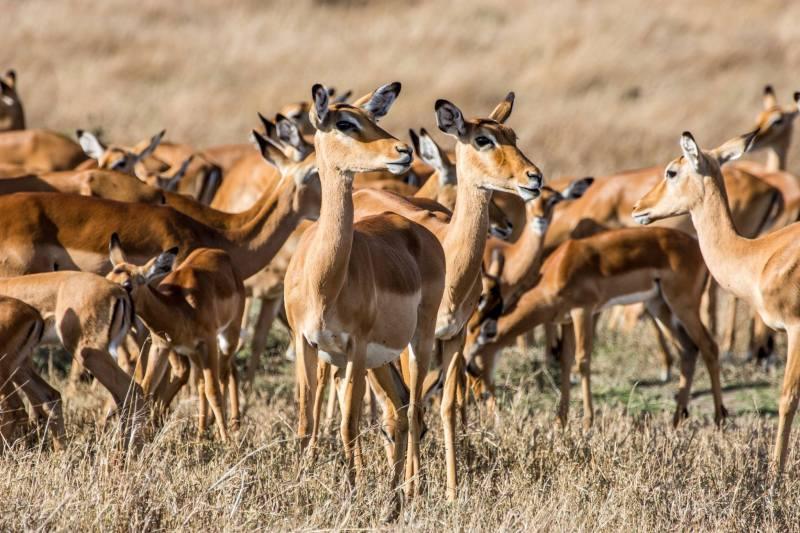 Стадо антилопи в Масай Мара, Кения