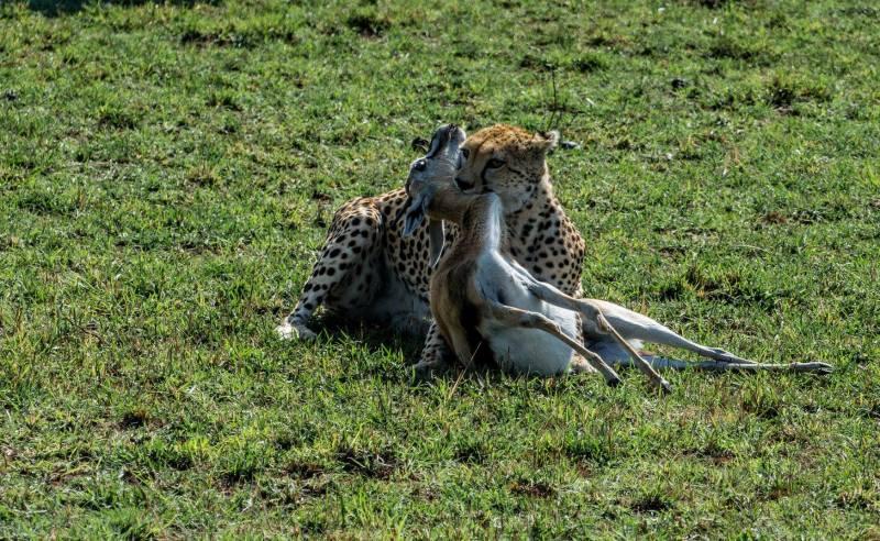 Лов на гепард в Масай Мара, Кения