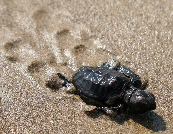 νεογέννητο βρίσκει το δρόμο προς τη θάλασσα