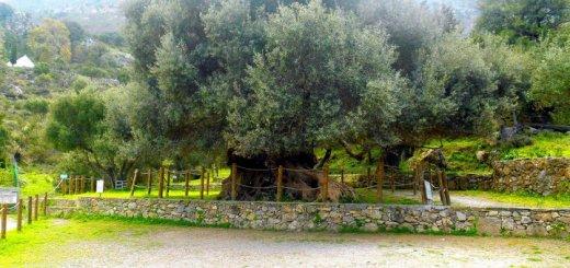 Με απόφασή της Συντονίστριας Αποκεντρωμένης Διοίκησης Κρήτης προστατεύεται θεσμικά η αρχαία ελιά Καβουσίου ως Διατηρητέο Μνημείο της Φύσης