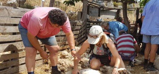 Βιωματικός τουρισμός και κουρές προβάτων