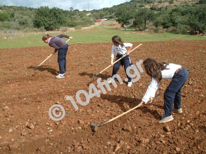 ανοίγουν αυλάκια με τα ειδικά εργαλεία, φυτεύουν και μετά τα κλείνουν