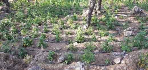 Προσοδοφόρα η καλλιέργεια κάνναβης, άλλη μια φυτεία