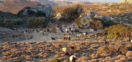 Επεκτείνεται στην Ανατολική Κρήτη η ενίσχυση κτηνοτρόφων για τις πλημμύρες