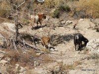 αδέσποτες κατσίκες κάπου στο οροπέδιο της Θρυπτής, μέσα σε ένα αμπέλι το οποίο τρώνε