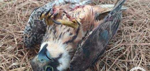Άλλο ένα σπάνιο γεράκι νεκρό από σκάγια