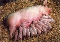 pigs01