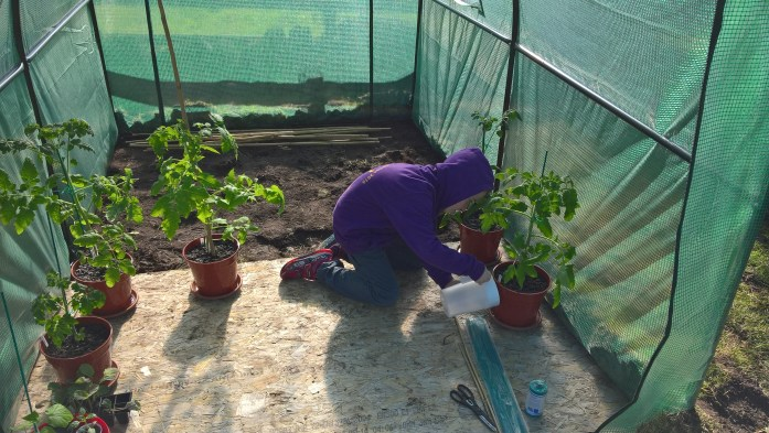 Tomato plants, cucumber and pepper plant in and being tended!
