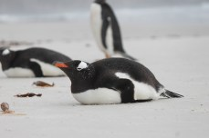 Lying down is not flattering to a penguin!