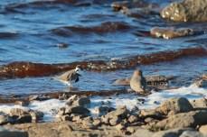 South American Terns