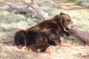 Bear at OKC Zoo