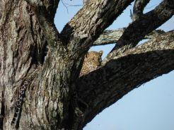 Cheetah in Manyara National Park
