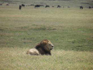 Lion in Ngorongoro
