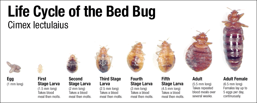 ed bugs life Cycle