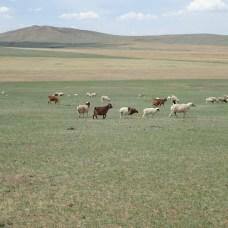 Moutons, chèvres...