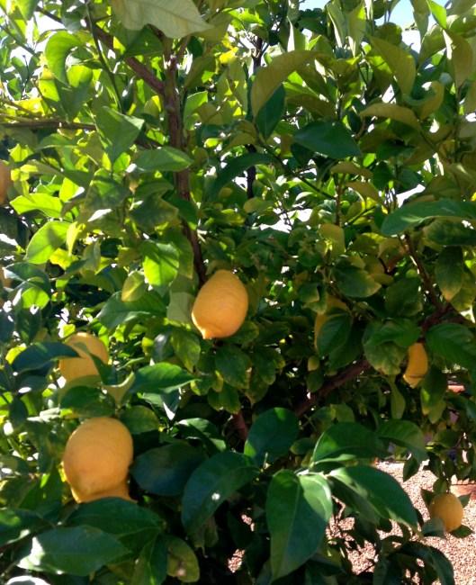 PS_lemon tree