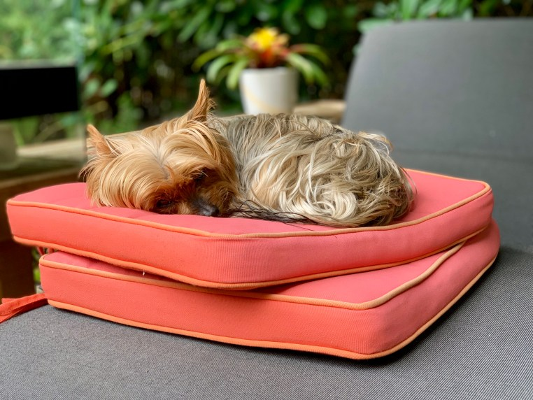yorkie sitting on two orange pillows outside