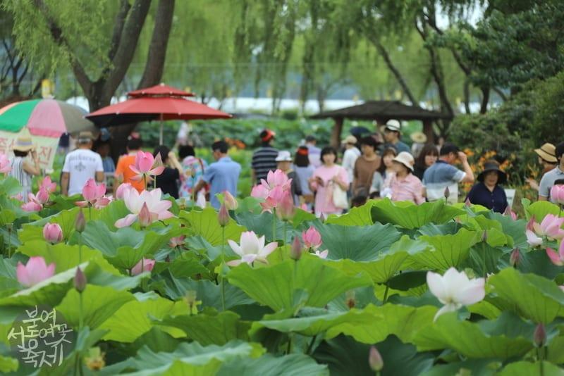 Buyeo Seodong Lotus Festival 2019 | Buyeo-gun, Chungcheongnam-do