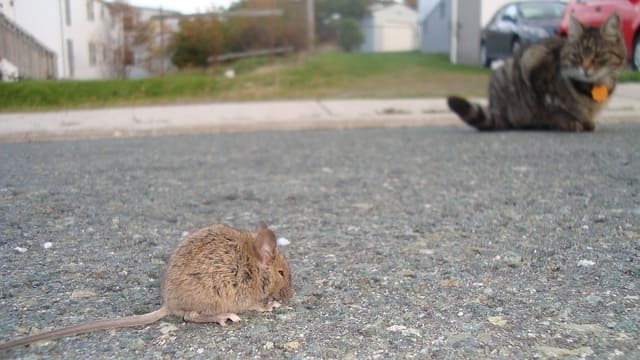 Why is it Possible to Control Rats?