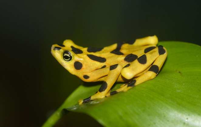 Coolest Frogs In The World: Panamanian Golden Frog
