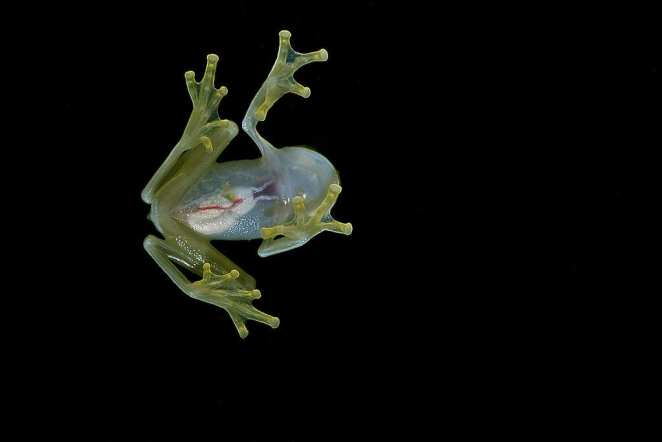 Coolest Frogs In The World: Glass Frog