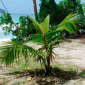 Palmiye ağacı tomurcuğu