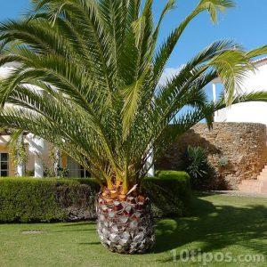 Bahçe palmiye ağacı