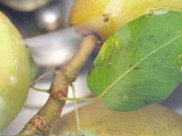 Appels schoonmaken (4 van 7)