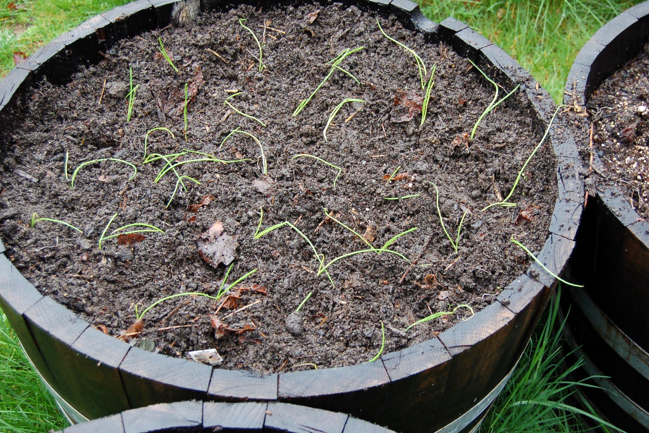 Walla Walla onions in a half wine barrel