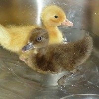 Ducklings in the kitchen sink