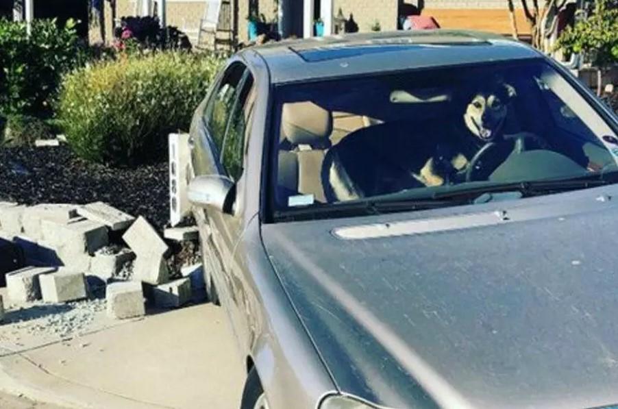 Een hond kaapte een Mercedes en maakte een ongeluk.