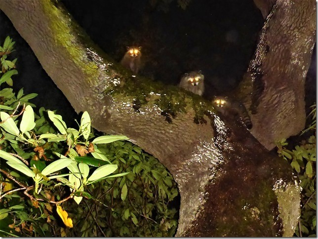 2017-10-5 : Racoon babies exploring Hampshire House Grounds
