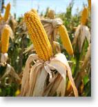 Trading Corn Futures