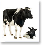 Live Cattle Futures trading software