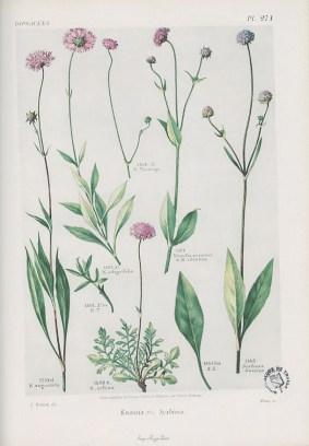 Flore complète, illustrée en couleurs, de France, Suisse et Belgique, par Gaston Bonnier. 1912-1935, Médiathèque du Grand Troyes, photo P. Jacquinot. Cote 1093, pl. 271