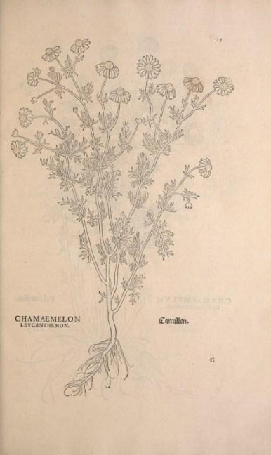 Le panicaut ou chardon bleu. Gravure extraite de l'Historia Strirpium de 1542. Source : Smithsonian Librairies, library.si.edu