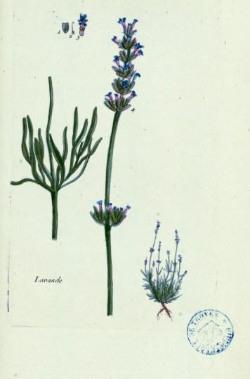 """1 cuillère à café de fleurs de lavande. Planche botanique extraite de la """"Flore parisienne"""" du botaniste champenois Pierre Bulliard (1752-1793)."""