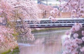 大岡川にかかる桜の写真
