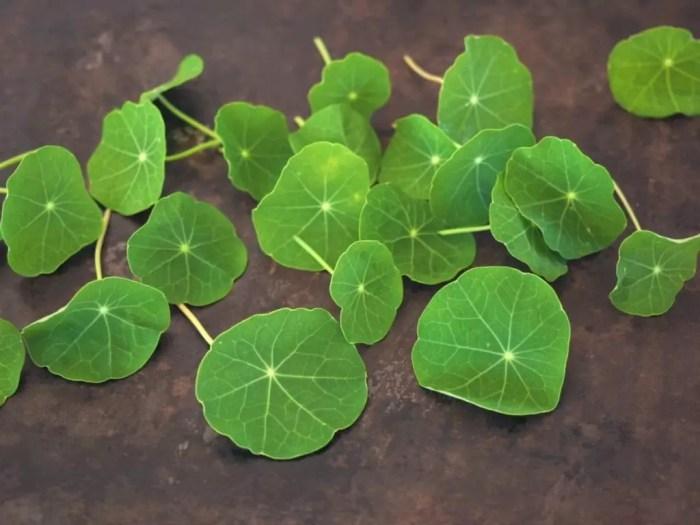 feuilles capucine