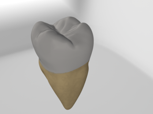 Second Molar Tooth