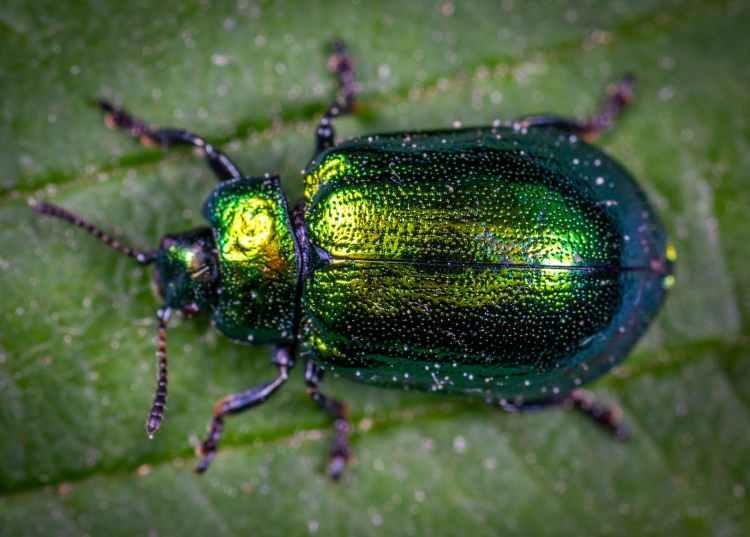 macro photography of jewel beetle on green leaf