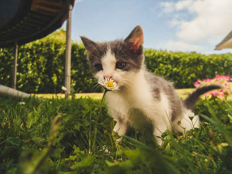 white and grey kitten smelling white daisy flower
