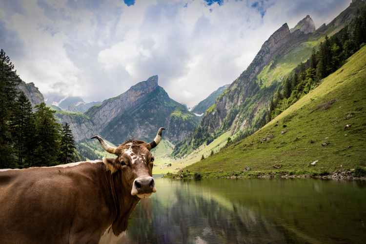 photo of cow near lake