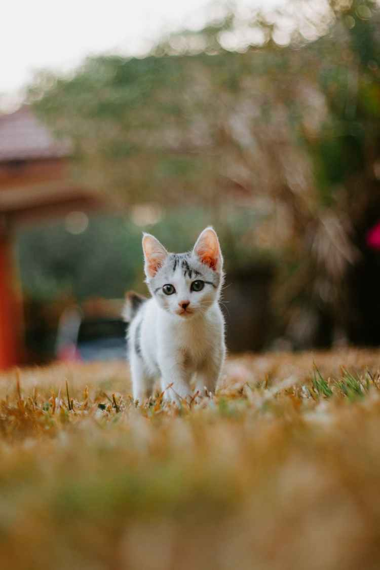 white cat on brown grass