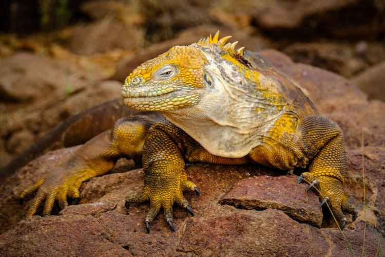 yellow iguana on rock