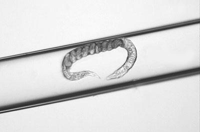elegans-in-straw