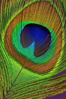 Close-up of a peacock tail feather