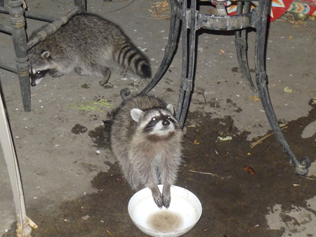 Raccoons-gang-of-4_11